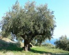 Old Olive Tree in Argassi